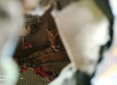 Rodina se tygrovi moc přibližovat nechtěla - ani se jí nedivíme!