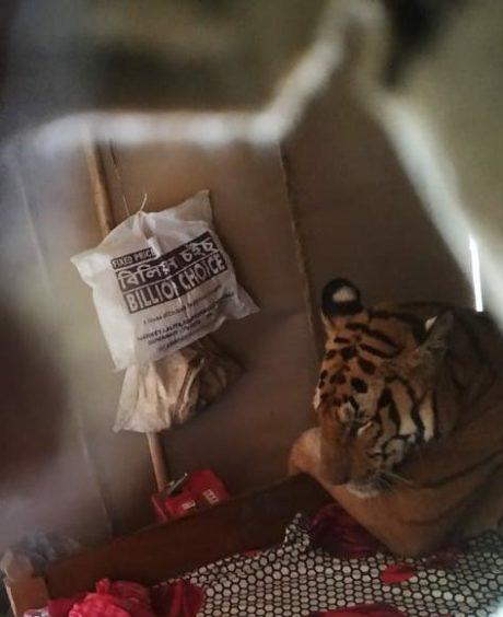 Tygr odpočívá v ložnici jedné rodiny v Indii