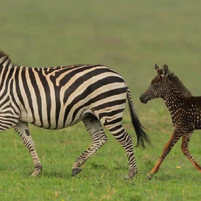 seznamka zebra