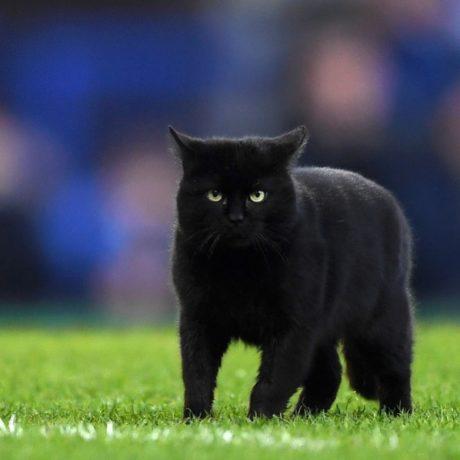 černý kohout na bílé kočičce