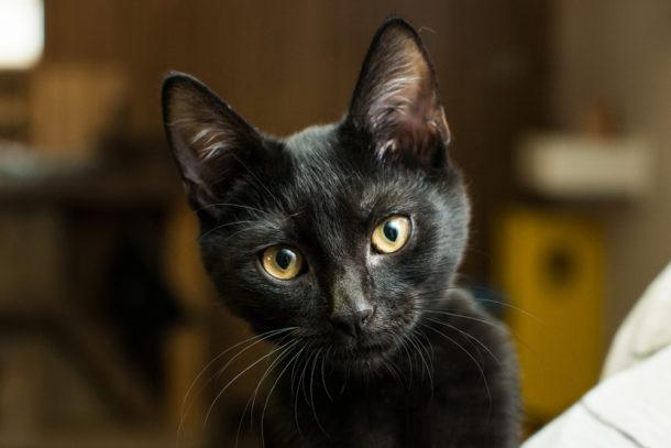 obrázky velkých černých kočiček
