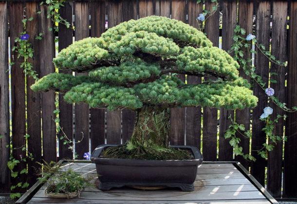 391 let stará bonsaj