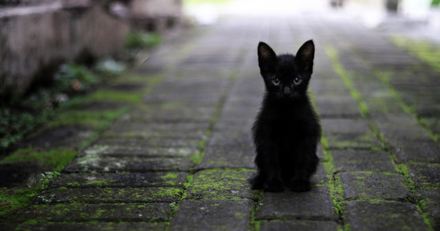 bílá kočička Cumming na černém péro