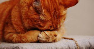 Toxoplazmóza je patrně jedno z nejhorších onemocnění, které můžete od kočky dostat